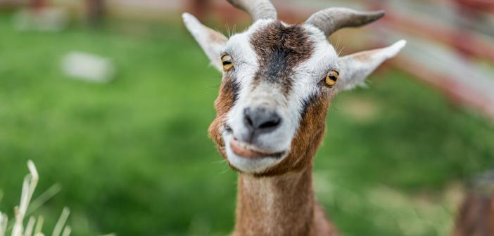 Mark Zuckerberg named his goat Bitcoin